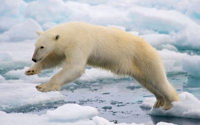Polar_Bear_wikimedia_User_Arturo_de_Frias_Marques